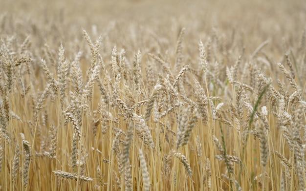 Золотое сухое пшеничное поле крупным планом