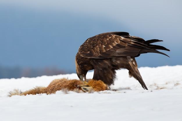 Беркут, aquila chrysaetos, поедает добычу на снегу в зимней природе. кормление дикой птицы с мертвой лисицей