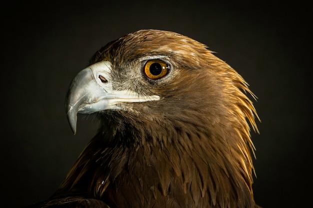 Голова золотого орла Premium Фотографии