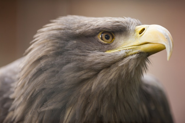 A golden eagle staring into the distance