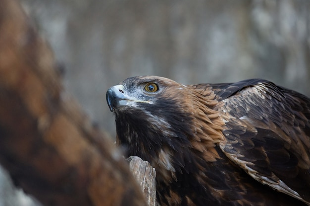Golden eagle on a tree