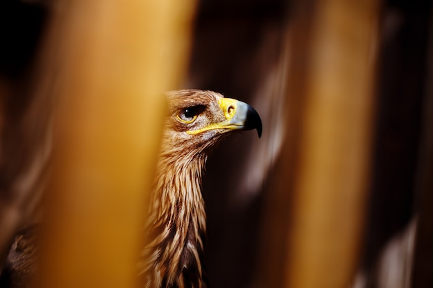 Golden eagle in a zoo