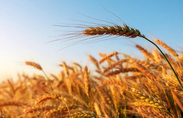Золотые колосья спелой пшеницы заделывают против облачного неба.