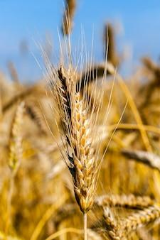 夏の畑のライ麦の黄金の耳