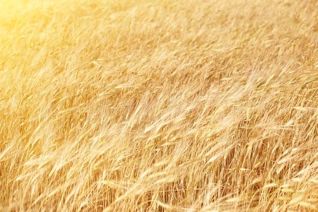 Золотые колосья пшеницы в солнечный летний день