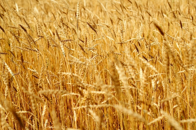 Golden ears of ripe wheat selective focus natural agricultural backdrop