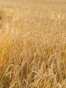 Golden ears of wheat on the field close-up.