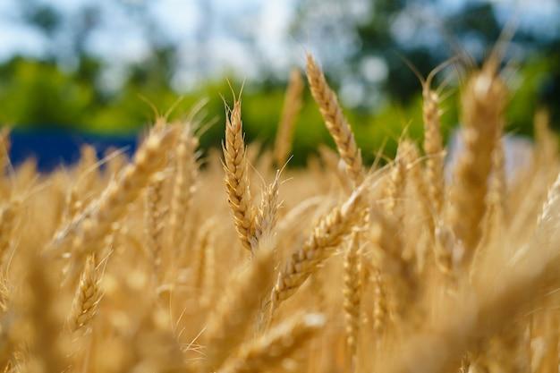 Golden ears of wheat in the field