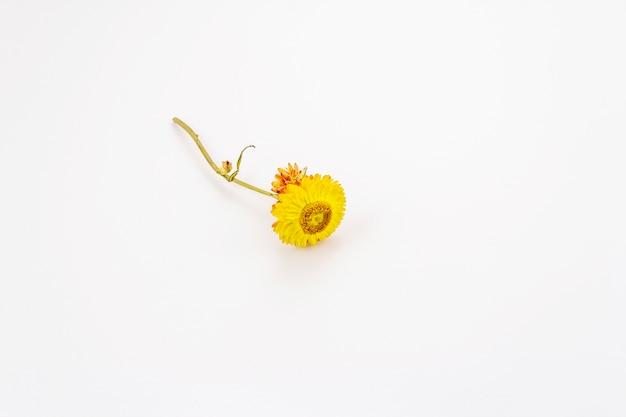 Golden everlasting dry flower isolated on white background. yellow xerochrysum bracteatum, dry stem and leaves