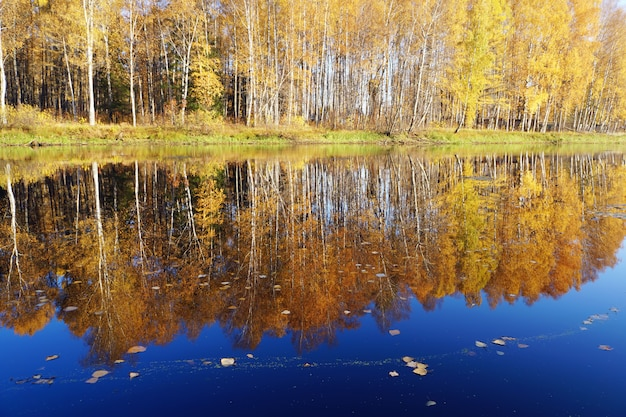 Golden fall. birch with yellow leaves reflected in the river.