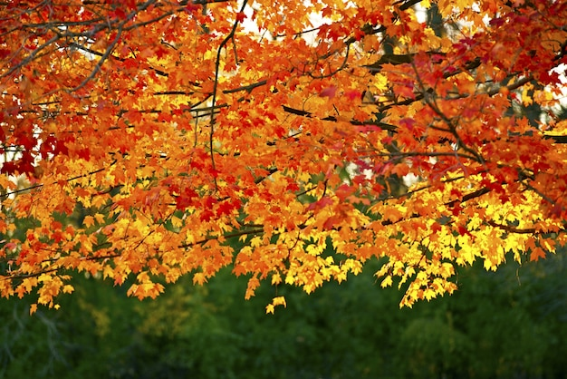 Golden fall branches