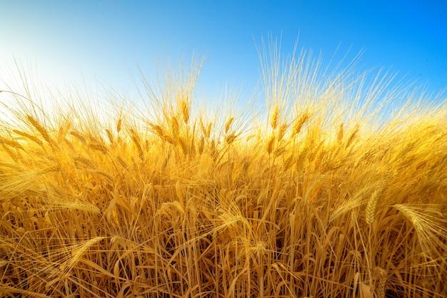 Golden field of barley against blue sky, harvest natural background