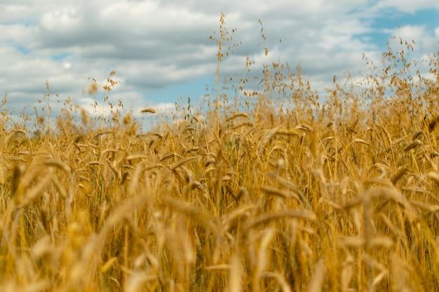 Золотой пейзаж поля, концепция богатого урожая зерна