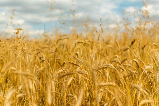 Золотое поле пейзаж с выборочным фокусом, концепция урожая