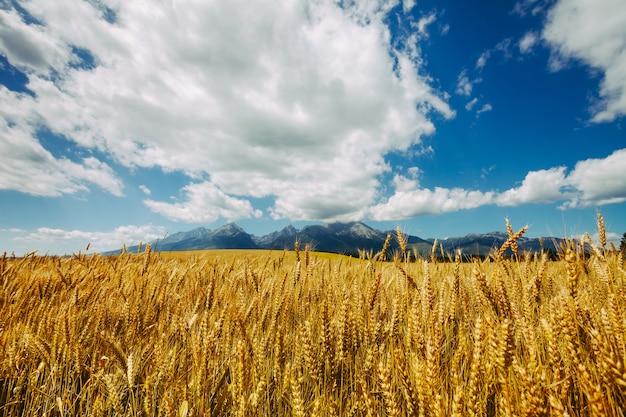 무한한 흐린 푸른 하늘과 슬로바키아의 거대한 타트라스 산맥의 배경에 있는 황금빛 밀밭. 매력적인 소박한 풍경입니다. 처녀 자연의 아름다움입니다.