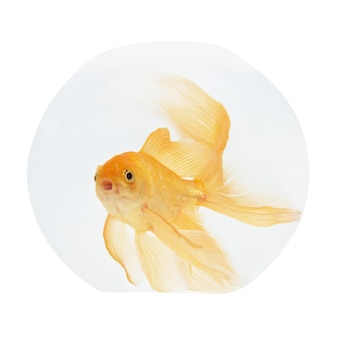 A golden fish in aquarium isolated on white background