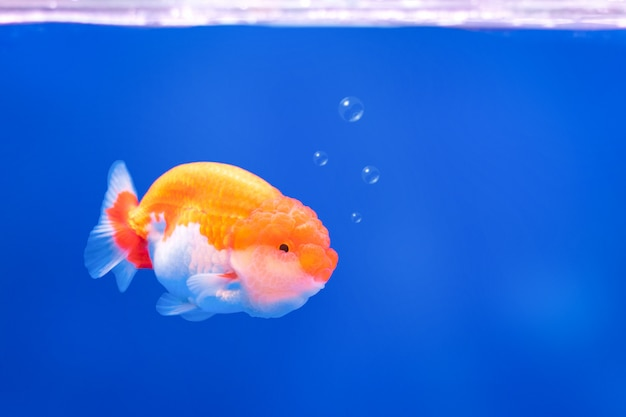Golden fish on underwater background with bubbles. complementary color.