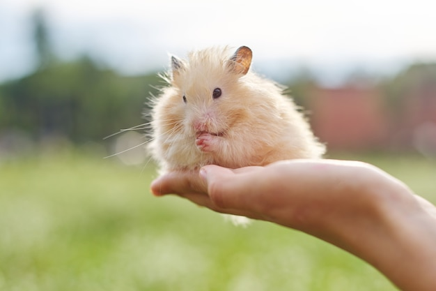 Golden fluffy syrian hamster in hands of girl, green lawn background, copy space