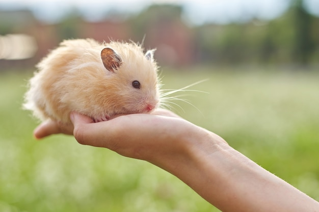 Golden fluffy syrian hamster in hands of girl, green lawn