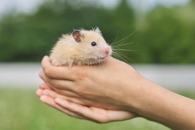 Golden fluffy syrian hamster in hands of girl