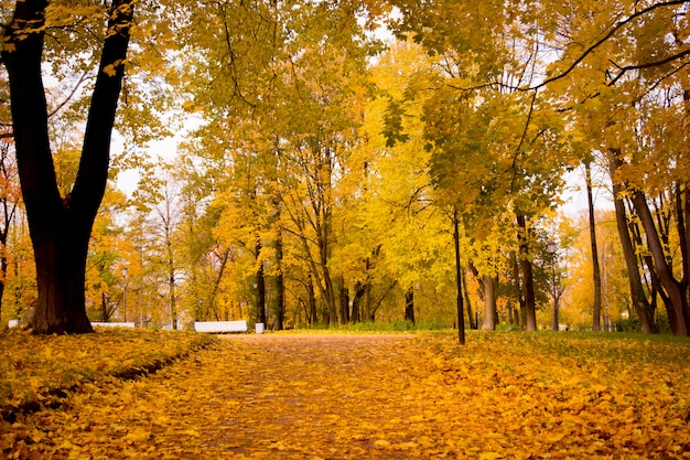 Golden foliage of the autumn park