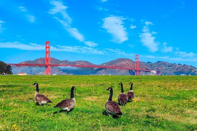 Golden gate bridge with gooses on the grass