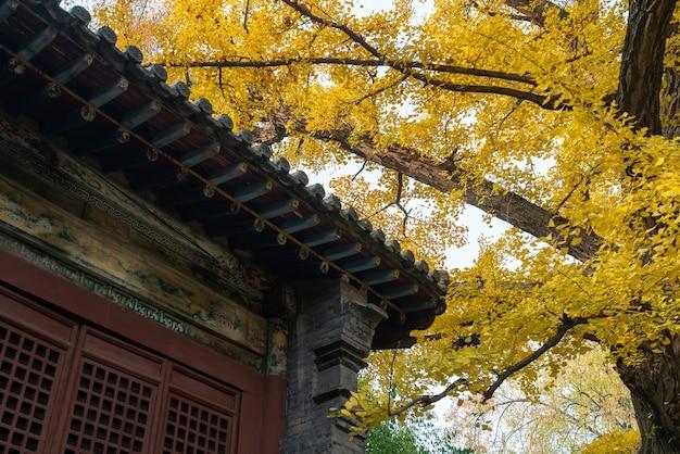 秋の黄金のイチョウの木と古代の建物
