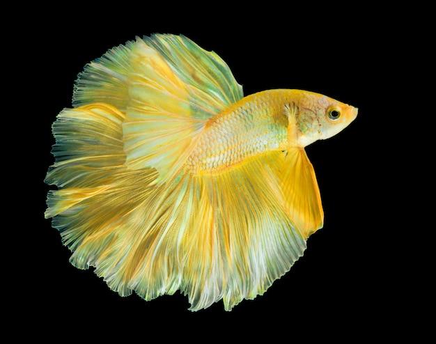Golden halfmoon betta fish on black,thailand fighting fish in gold color on isolate black.