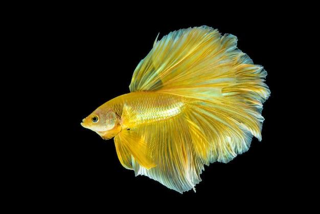 Golden halfmoon betta fish in the dark