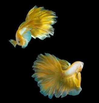 Золотая рыба-полумесяц бетта на черном, боевые рыбы таиланда в золотом цвете на изолированном черном фоне