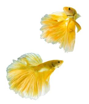 ゴールデンハーフムーンベタの魚、タイの分離の背景にゴールド色の魚の戦い