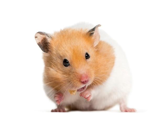 Golden hamster feeding in front of white