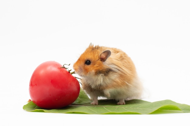Golden hamster sits on leaf with tomato on white backgroud