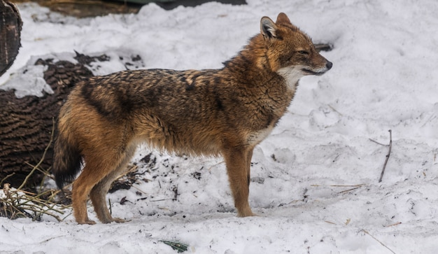 Golden jackal (canis aureus) on snow