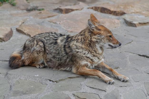 Golden jackal (canis aureus)