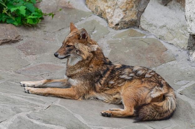 Golden jackal dog
