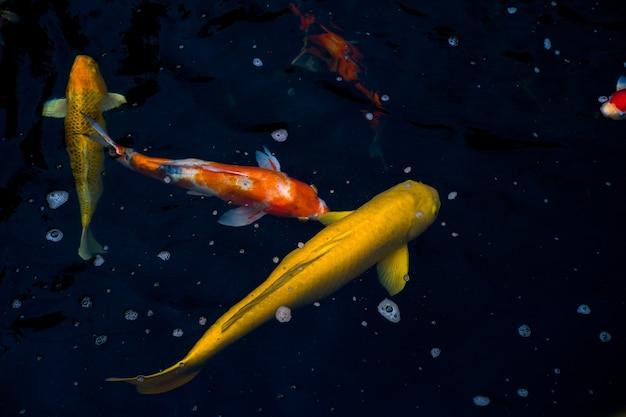 검은 물에서 흰색 주황색 잉어 물고기와 함께 수영하는 황금 잉어.