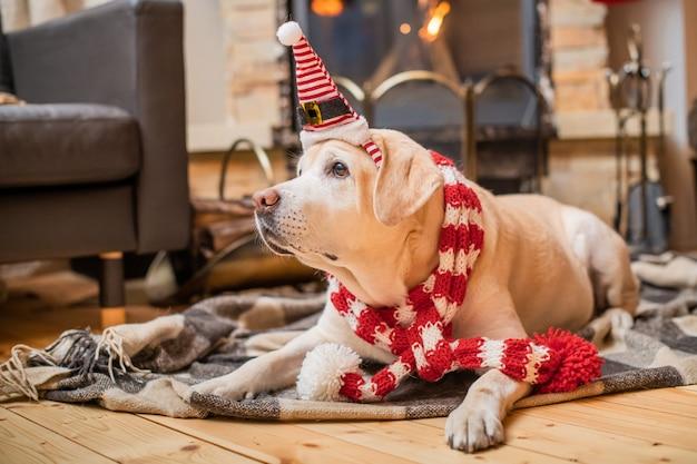 クリスマスのスカーフのゴールデンラブラドールレトリバーは、燃える暖炉の近くの木造住宅の格子縞の上にあります