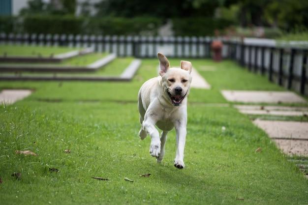 Золотой лабрадор ретривер бежит по траве поля