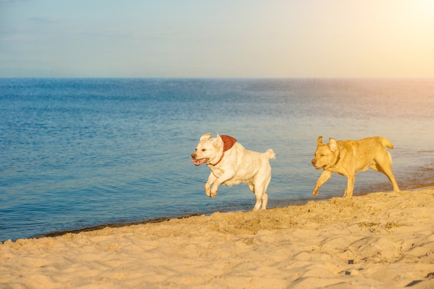 Golden labrador retrievers having fun running along beach sun flare