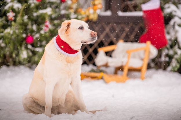 A golden labrador in a scarf sits near a decorated christmas tree and sleigh during a snowfall in winter in the courtyard of a residential building.