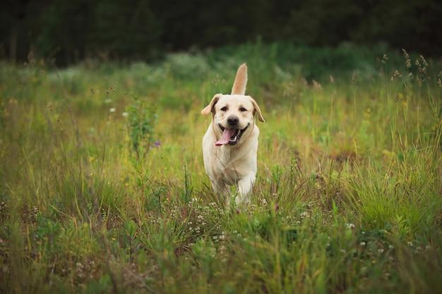Золотой лабрадор гуляет в весеннем парке, естественный свет, в пасмурный день