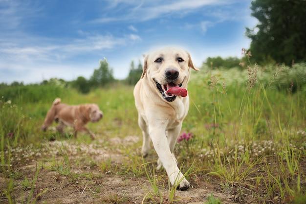 Золотой лабрадор гуляет в весеннем парке