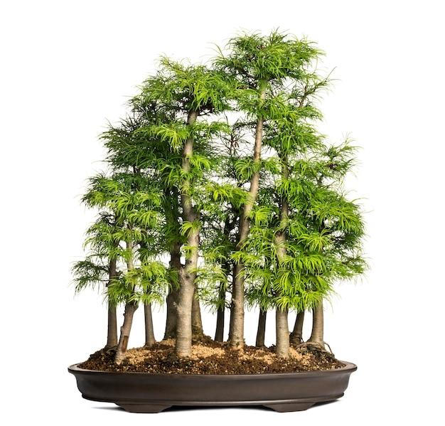 황금 낙엽송, 분재 나무, pseudolarix amabilis, 흰색 절연