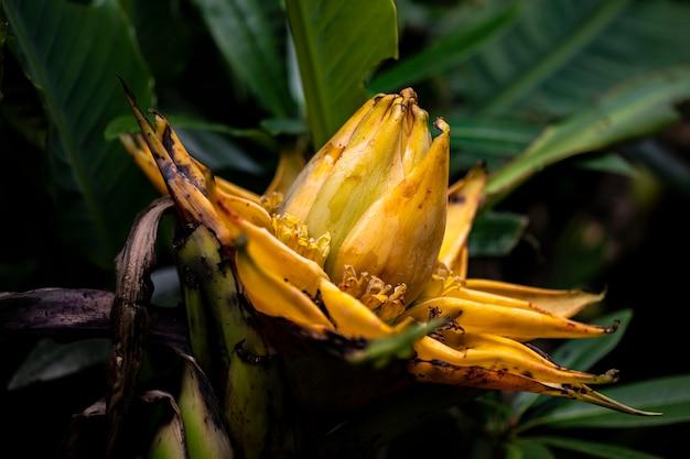 Golden lotus banana