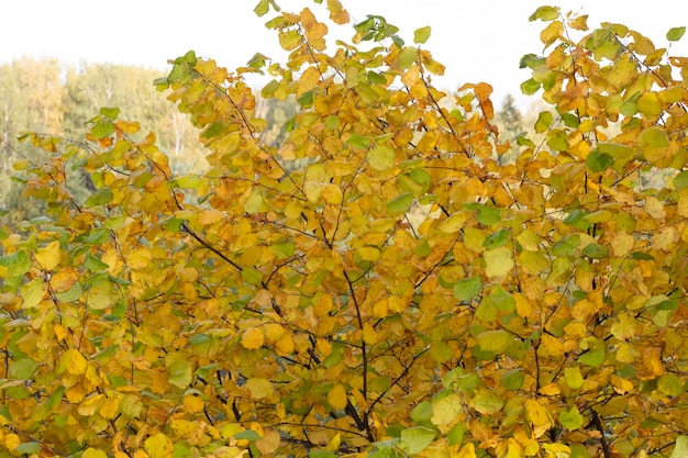 ぼやけた黄金色の背景に黄金のカエデの葉暖かく晴れた秋の日
