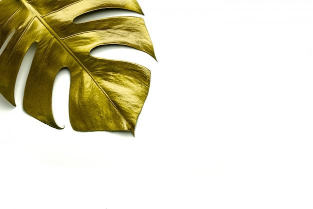 Golden monstera multiple leaves isolated on white background