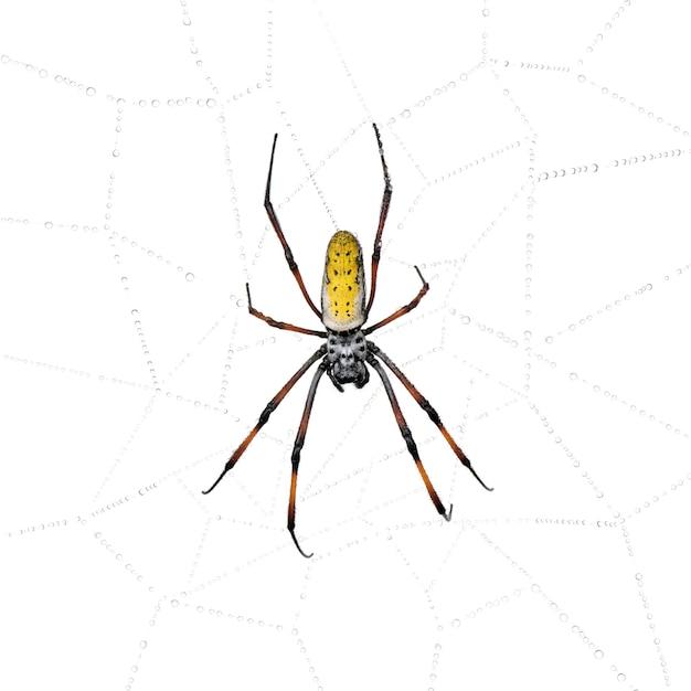 거미줄, nephila inaurata madagascariensis에서 황금 구 웹 거미