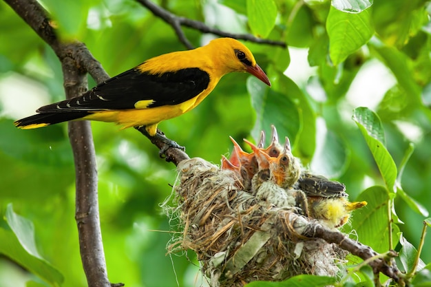 Golden oriole parenting in green nature in summertime