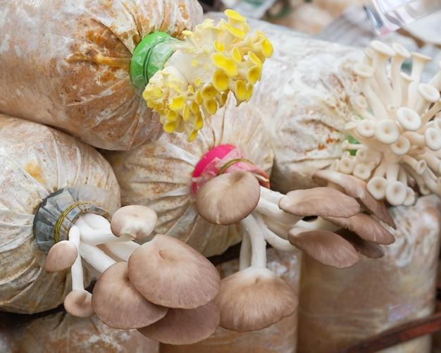 Золотые устричные грибы и грибы, растущие на ферме